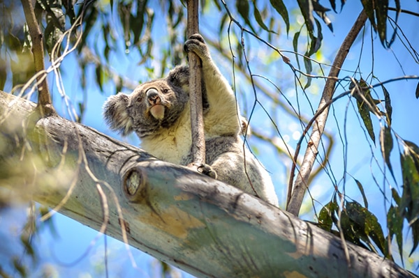 Numbers good, but koalas not out of the woods