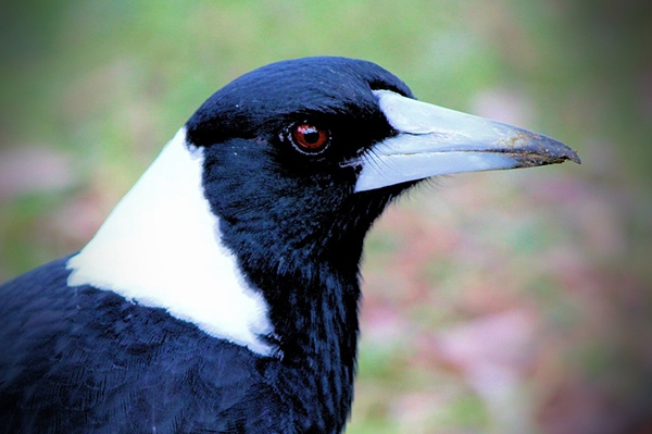 Dangerous magpie removed from Spinks Park