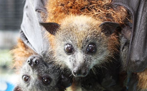 Possible closure of Rotary Park protects flying foxes from heat