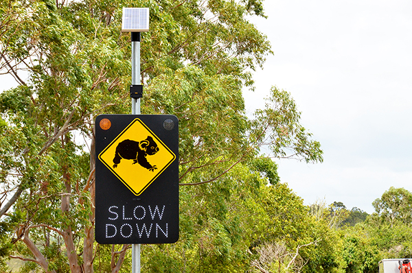 Flashy signage helps save vulnerable koalas from death