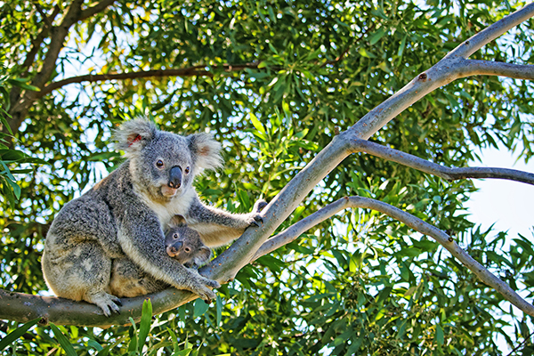 Free field day for landholders living with koalas
