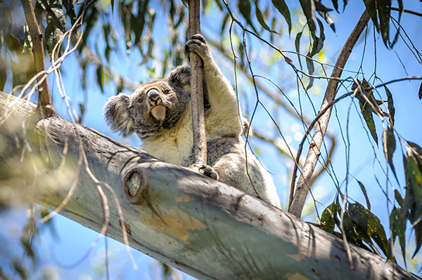 Koala survey provides vital data to help save koalas